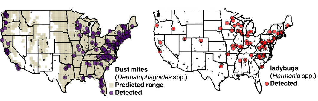<strong>Invasive allergies.</strong> As part of a bug census, Rob Dunn's lab surveyed the geographical distributions of insects that cause allergies (dust mites) and indoor pests (ladybugs). Photo by Madden AA et al., Molecular Ecology, 2016.