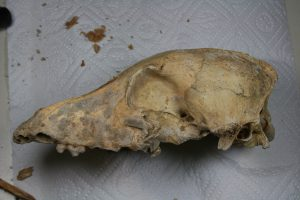 A picture of the 5,000-year-old Late Neolithic  dog skull from the Cherry Tree Cave near Forcheim, Germany, before it underwent whole genome sequencing. Photo by Amelie Scheu