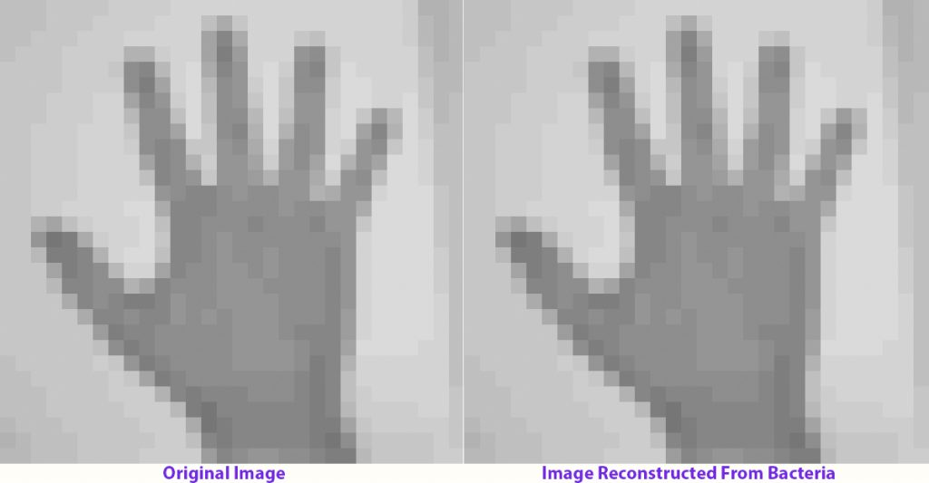 To the left is an image of a human hand, which was encoded into nucleotides and captured by the CRISPR-Cas adaptation system in living bacteria. To the right is the image after multiple generations of bacterial growth, recovered by sequencing bacterial genomes. Photo by Seth Shipman
