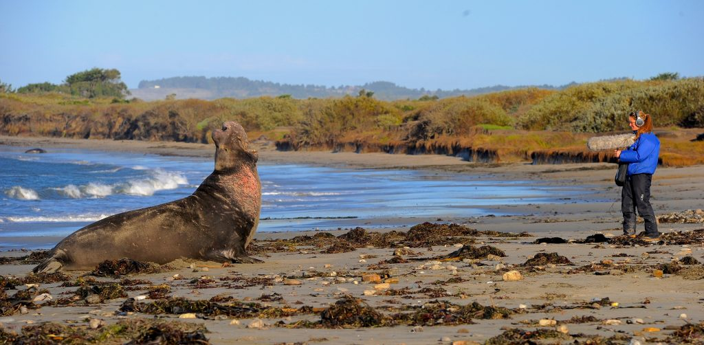 Caroline Casey records the vocalizations of the alpha male elephant seal at Ano Nuevo State Park, California. Photo by Ari Friedlaender