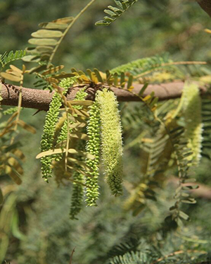 Prosopis juliflora, a large perennial shrub, grows up to 40 feet tall. The tree is native to Central and South America, but now occupies millions of acres in Africa, including countries such as Mali, Chad, Niger, Ethiopia, Sudan and Kenya. Photo by Muller et al., Malaria Journal, 2017
