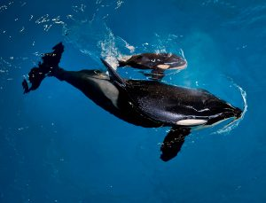 San Antonio's orca Takara swims with her new calf, born at a SeaWorld park in San Antonio in this April 2017 handout photo. Photo courtesy SeaWorld via Reuters