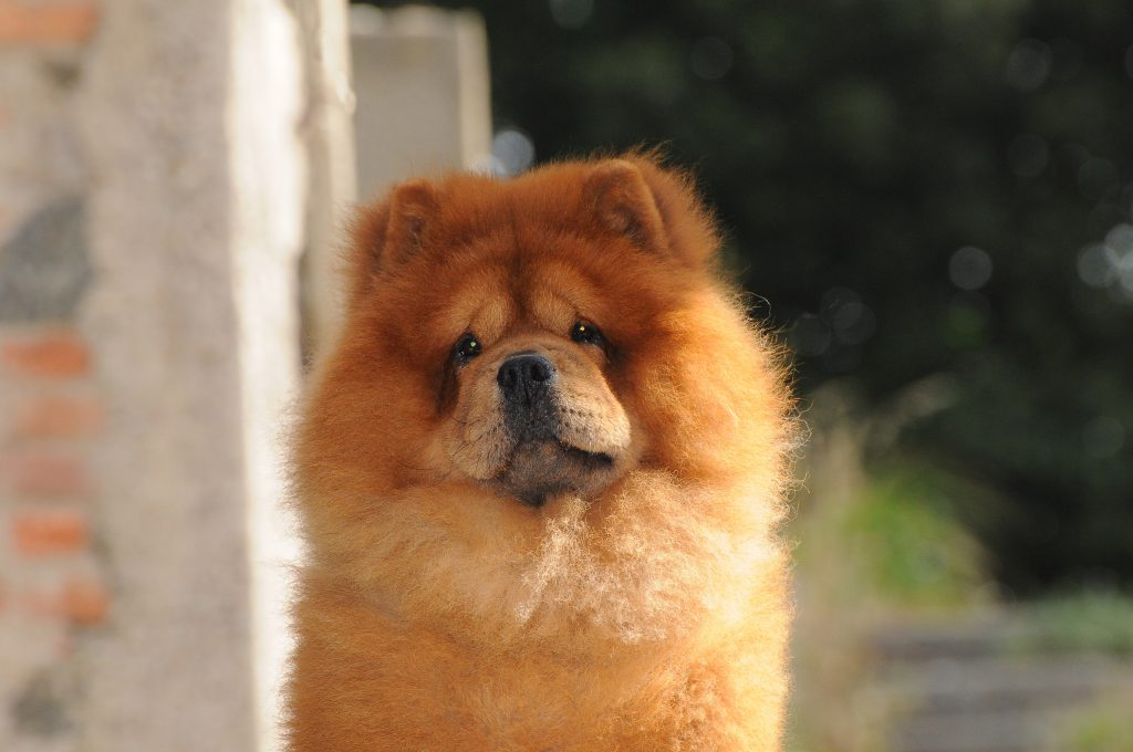 Portait of Chow Chow dog, Canis lupus familiaris. Photo by Ricant Images/via Adobe
