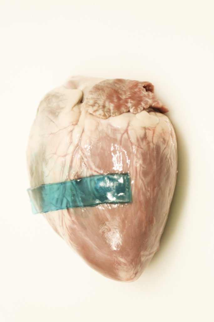The slug-inspired glue applied to a pig heart showing its ability to stick to wet tissues. Photo by J. Li, D. Celiz, J. Mooney
