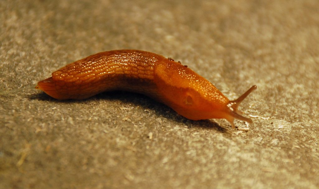The Dusky slug. Photo by Andrew Smith