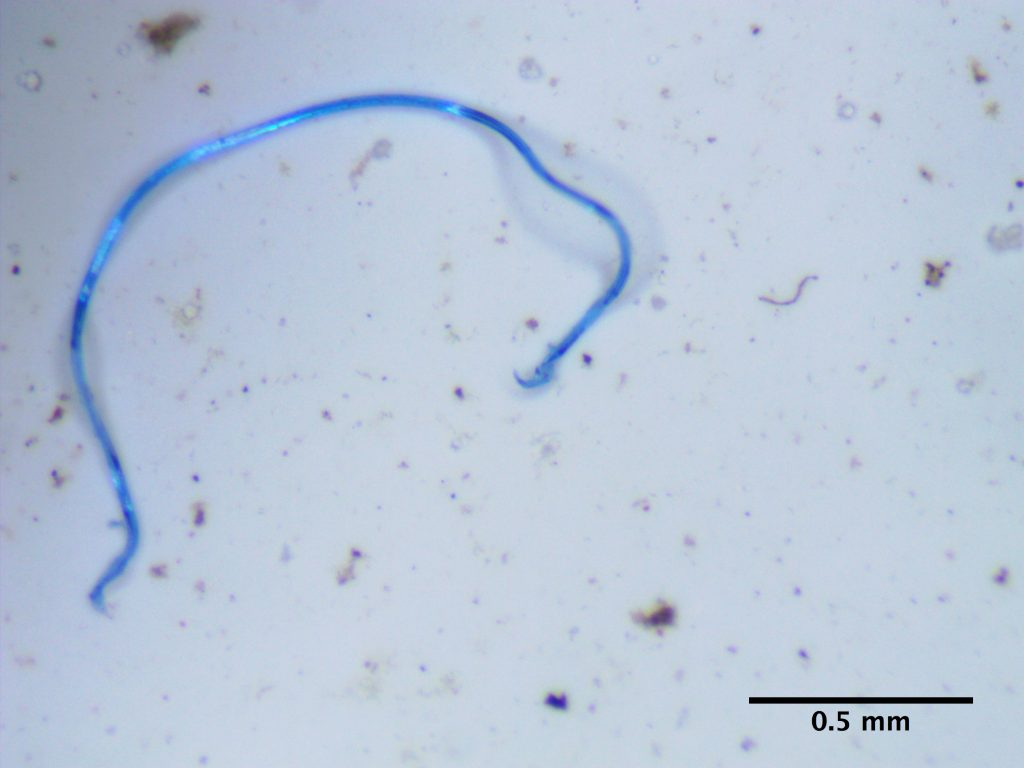 Under the microscope, Barrows identifies microfibers found in the Hudson River.  credit Sara Cathey/Adventure Scientists
