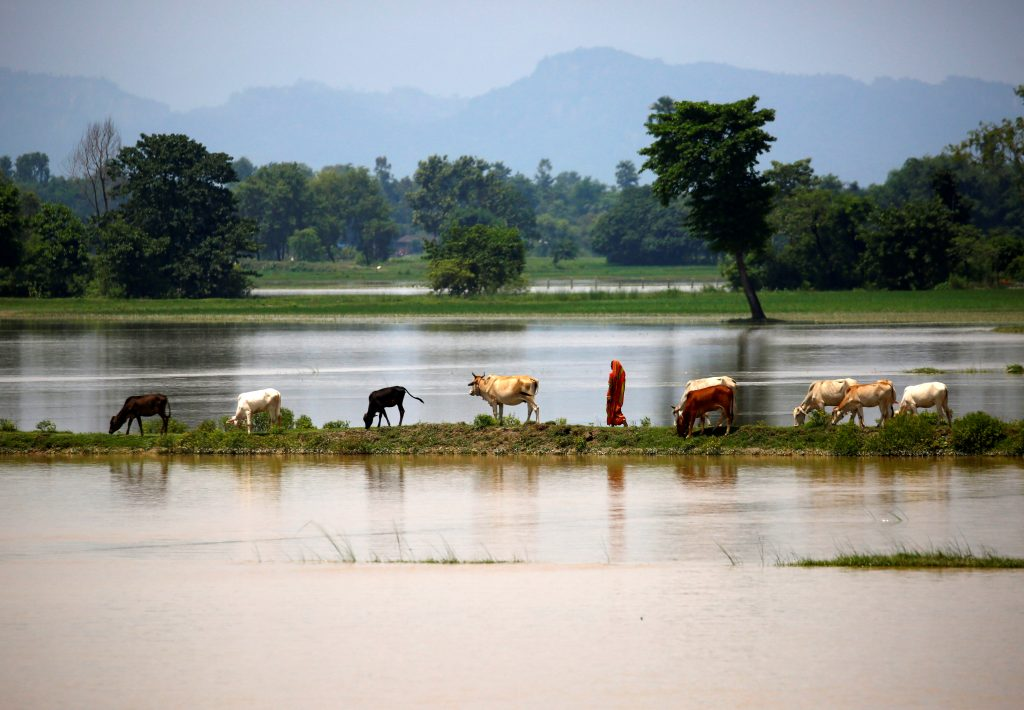 Cattle graze on a thin strip of land in Saptari District, Nepal, on Aug. 14. Photo by Navesh Chitrakar/Reuters