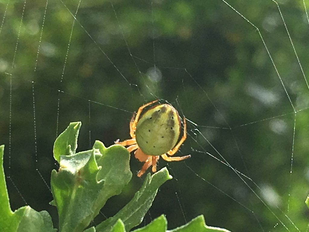 The six-spotted orb weaver is known to eat her web at night. What will she do during the eclipse? Photo by Rebecca Johnson/Cal Academy of Sciences
