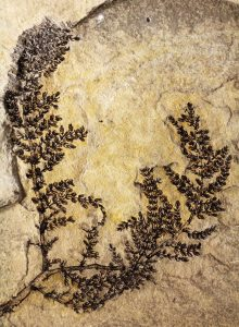 "The oldest flowering fossil, a 130 million-year-old aquatic plant found in modern day Spain.<a href=""http://www.pnas.org/content/112/35/10985"" >Gomez et al / PNAS</a>"