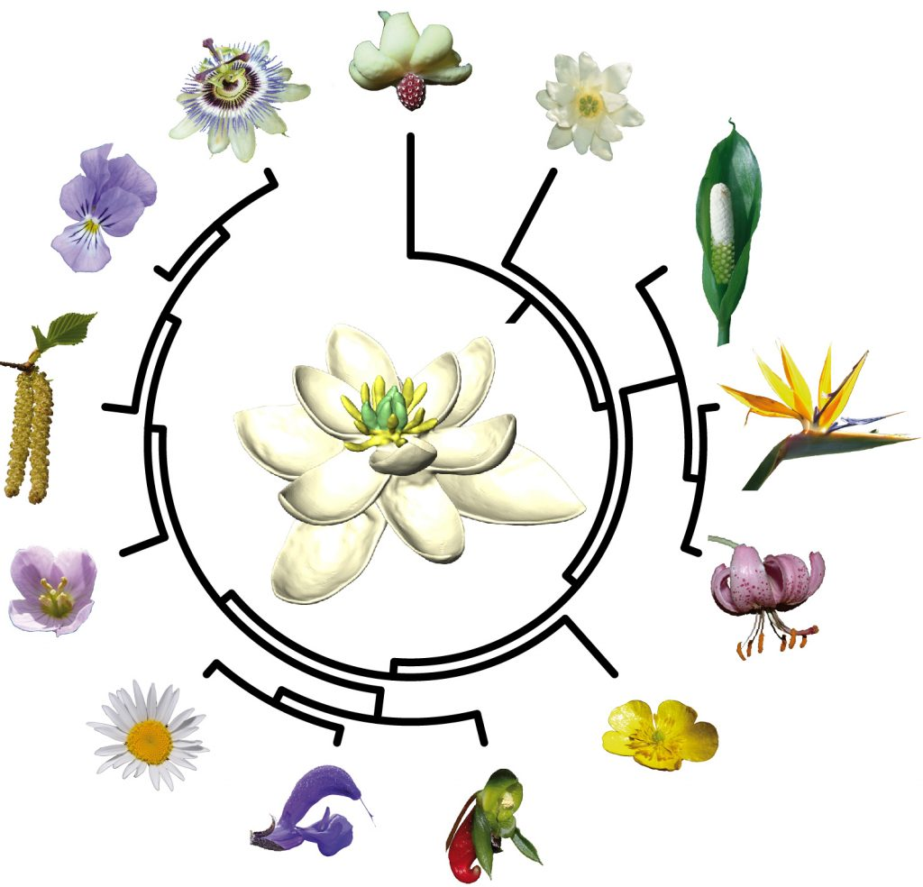 "All living flowers ultimately derive from a single ancestor that lived about 140 million years ago. Chart by <a href=""http://nature.com/articles/doi:10.1038/ncomms16047"" >Hervé Sauquet & Jürg Schönenberger</a>"
