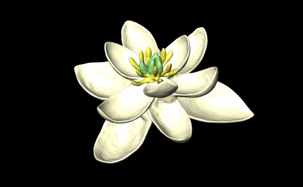 A major new study by an international team of botanists has achieved the best reconstruction to date of an ancestral flower. Hervé Sauquet & Jürg Schönenberger