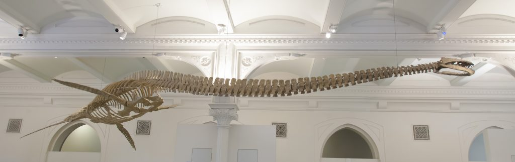 A plesiosaur skeleton model on display in the American Museum of Natural History in New York. Photo by American Museum of Natural History/M. Shanley