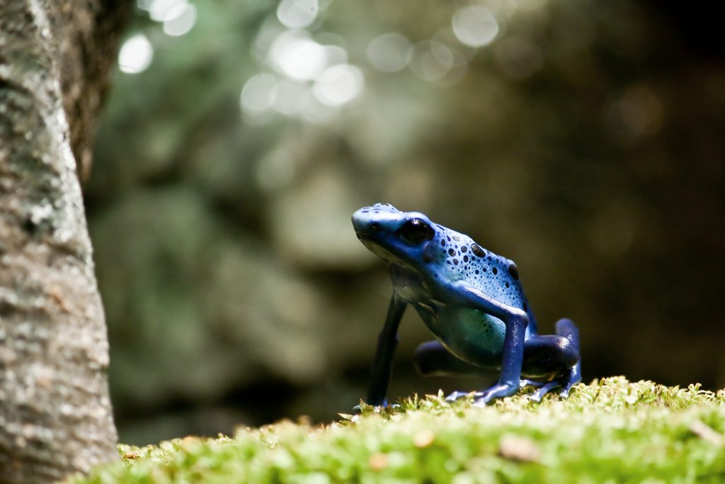 A blue poison dart frog (Dendrobates azureus) - Each frog has a unique pattern of black dots, which serves as an identification tool. This species of frog is also known for its hunch-backed posture.