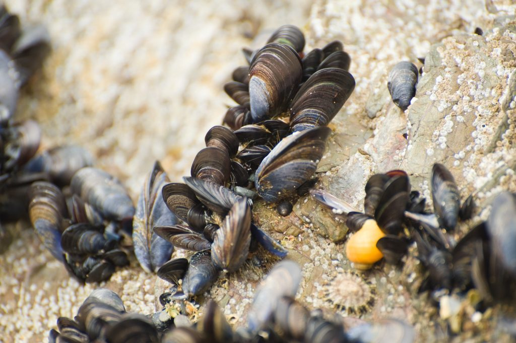 For wood chemist Kaichang Li, inspiration sat underwater and on seaside cliffs in the form of mussels. Photo by Gerdbaum/via Adobe