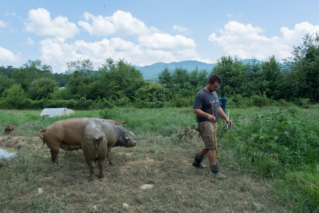 Landon George, a senior at Warren Wilson College, takes care of some of the 200-plus pigs at the college's commercial farm. Photo: Jesse Pratt Lopez for The Hechinger Report