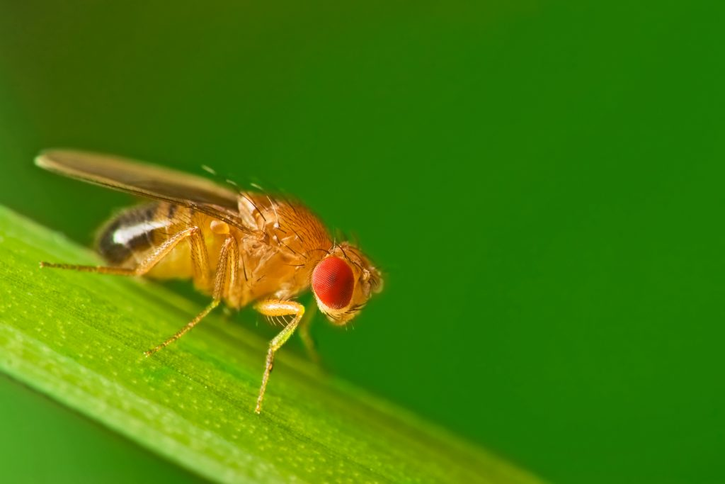 Male common fruit fly (Drosophila melanogaster) sitting on a blade of grass. Photo by Studiotouch/via Adobe