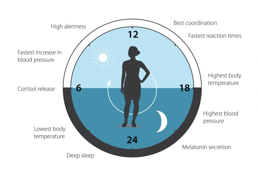 Our circadian clock helps to regulate sleep patterns, feeding behavior, hormone release, blood pressure and body temperature. A large proportion of our genes are regulated by the clock. Illustration by the Nobel Foundation