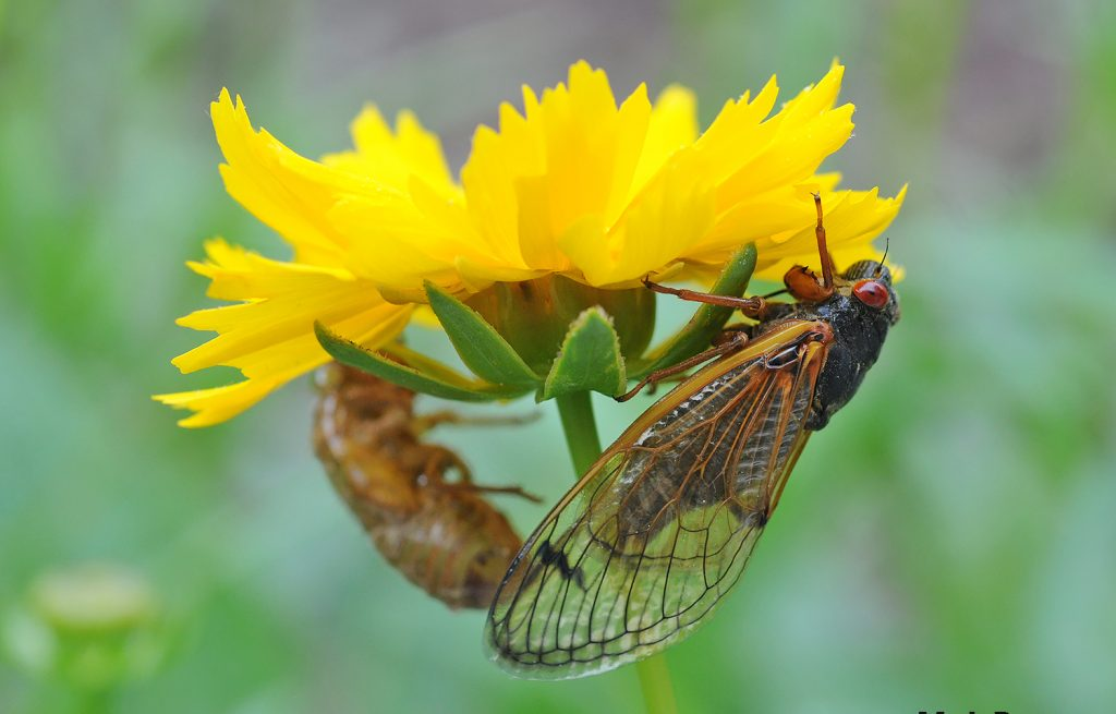 Scientists are puzzled by the unexpected appearance of cicadas in the Washington, D.C. area this spring. Photo courtesy Mike Raupp