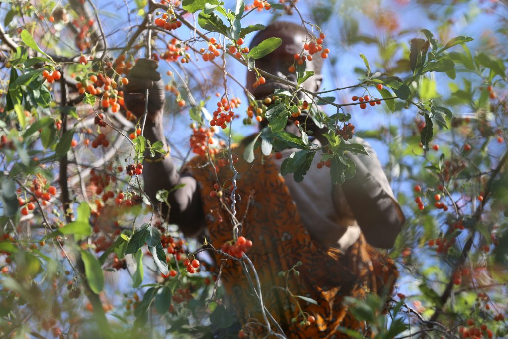 During the wet season, the Hadza increase their berry and honey consumption. Photo by Jeff Leach