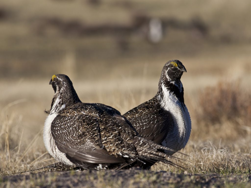File photo of sage grouse by Bob Wick/Bureau of Land Management han…
