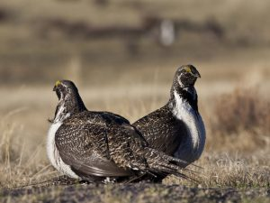 File photo of sage grouse by Bob Wick/Bureau of Land Management handout via Reuters