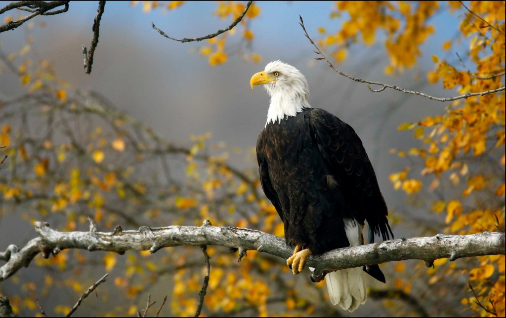 A bald eagle sits in a tree in the Chilkat Bald Eagle Preserve near Haines, Alaska