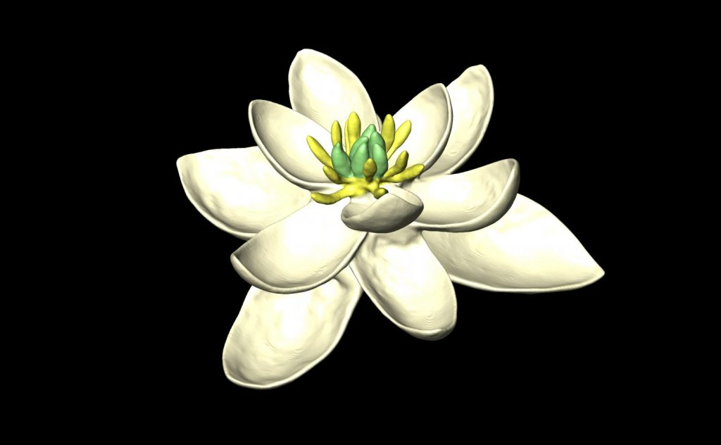Why The First Flowers May Have Looked Like Magnolias Pbs Newshour