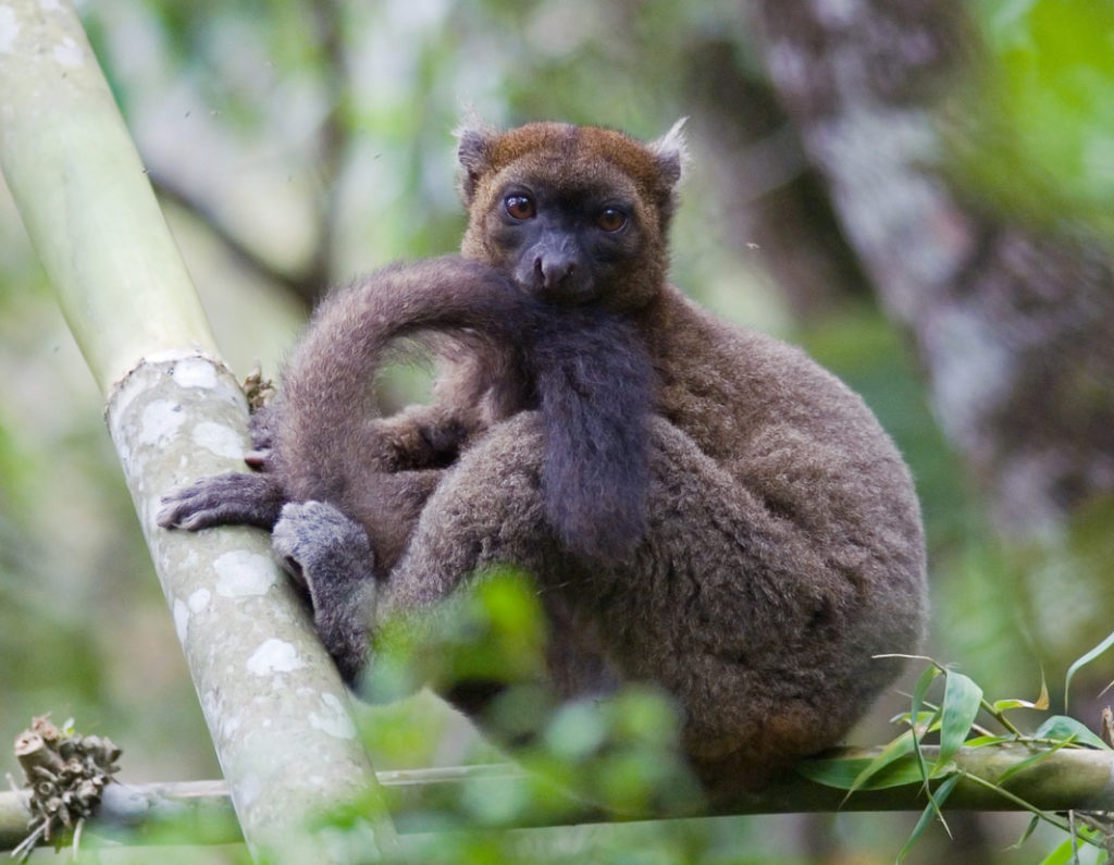 The petite, rotund greater bamboo lemur lives on Madagascar and is considered the most endangered primate on Earth. Photo by Jukka Jernvall