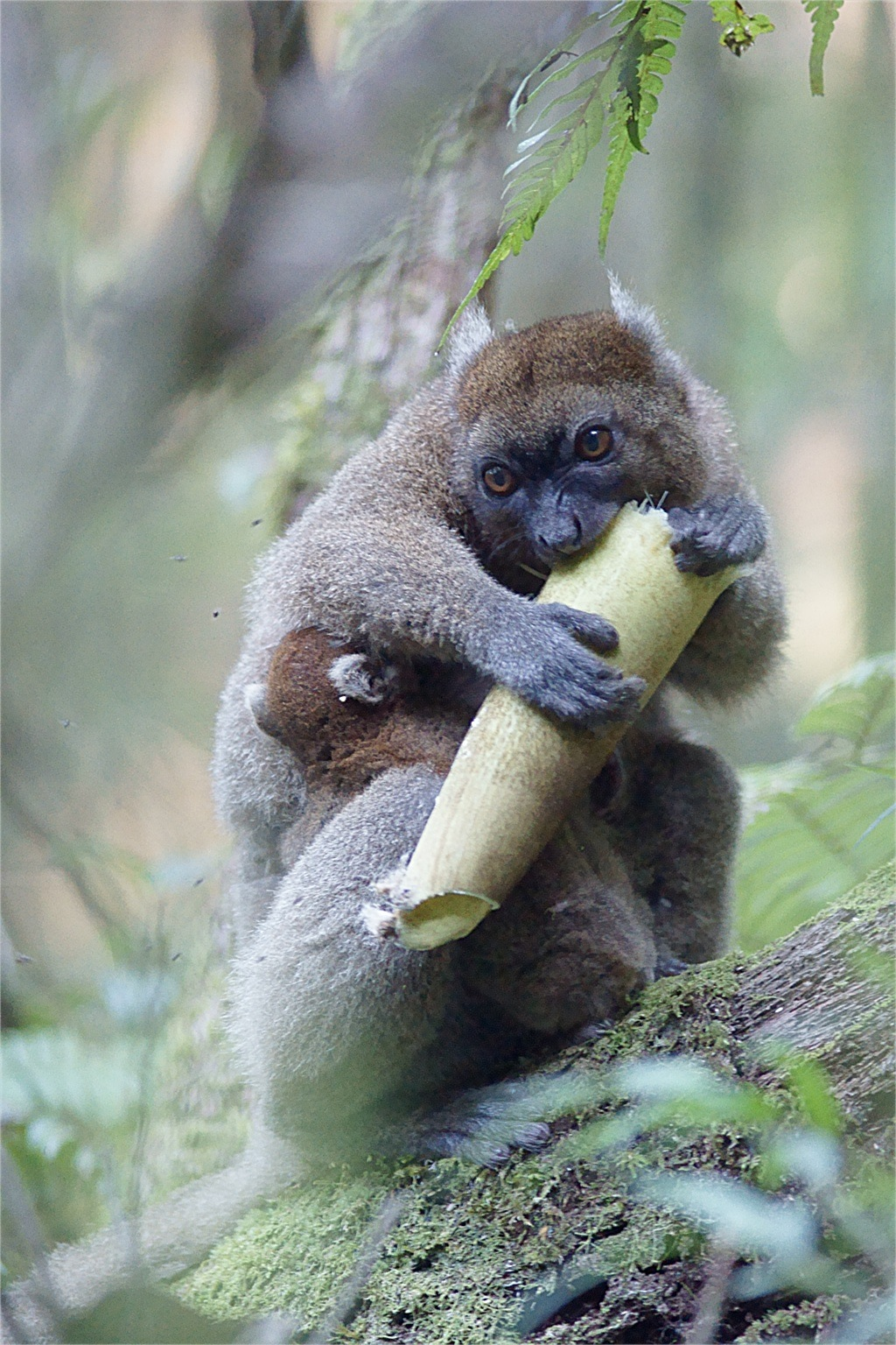 A greater bamboo lemur eats the tough bamboo culm, which it only does during the dry season. But it prefers bamboo shoots which are more nutritious. Photo by Jukka Jernvall