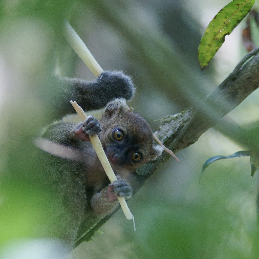 A greater bamboo lemur infant born in the beginning of the rainy season is immediately ready to nibble on bamboo shoots. Photo by Jukka Jernvall