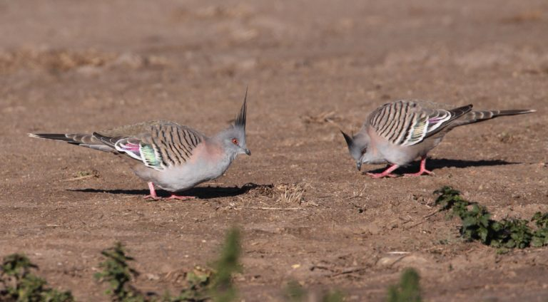 A pair of crested pigeons, native to mainland Australia, flock together. Photo by Geoffrey Dabb