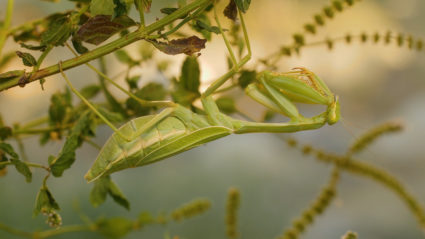 A resting female green mantis. Photo by Josh Cassidy/KQED