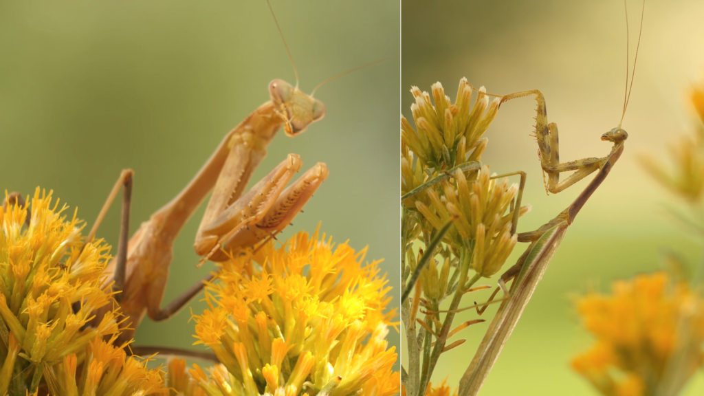 The female bordered mantis on the left is about four to 10 times heavier and much more powerful than the male on the right. Photo by Josh Cassidy/KQED