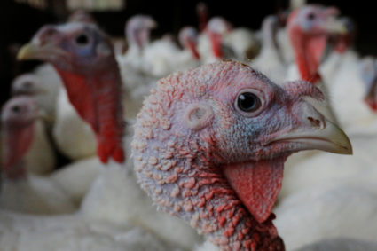 Turkeys stand in their barn at Seven Acres Farm, one day before the Thanksgiving holiday in North Reading, Massachusetts, U.S., November 22, 2017. REUTERS/Brian Snyder