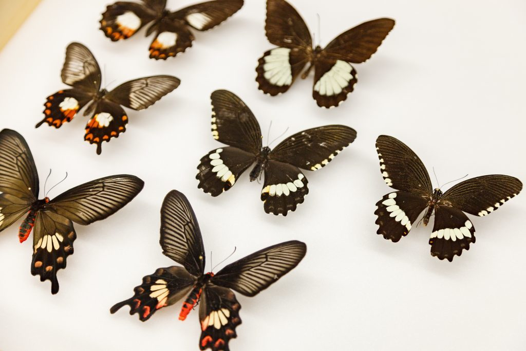 Several swallowtail butterflies mimic other poisonous butterflies. Here are different forms of the same species; in the center lies a female Papilio polytes that does not mimic other species. Photo by Matt Wood of the University of Chicago
