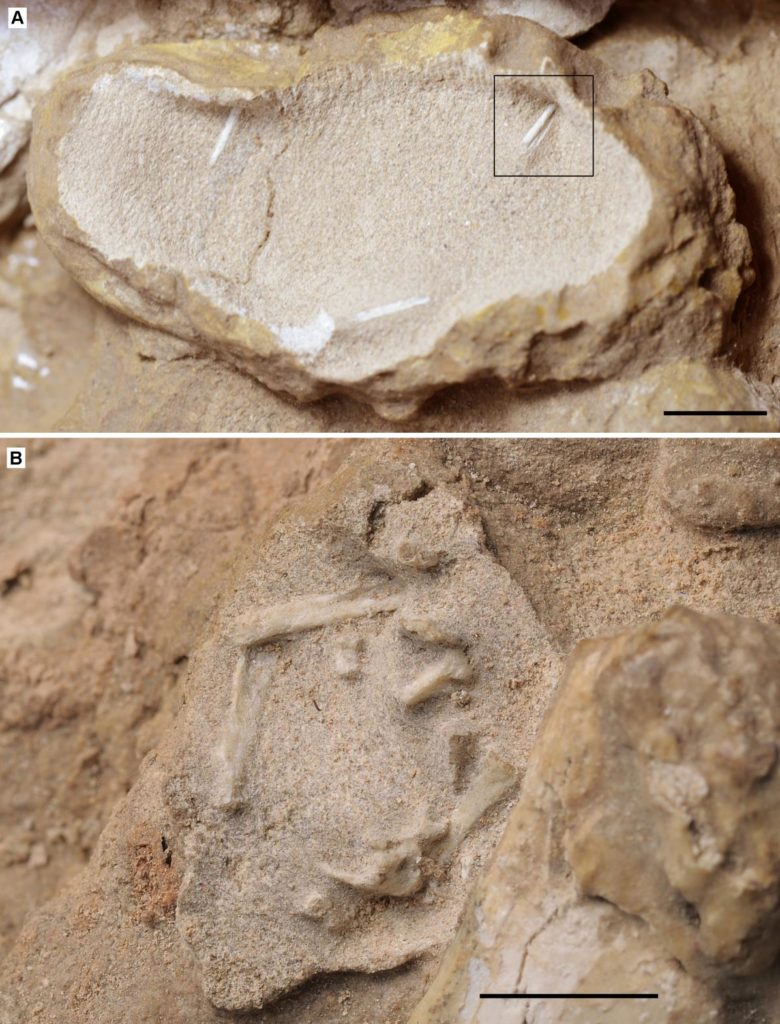 This is a close-up of two different pterosaur eggs with embryos and bones popping through. The scale bar is 10 millimeters, showing how small the eggs really were. Photo by Xiaolin Wang and Alexander W. A. Kellner
