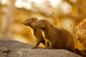 A couple of dwarf mongoose sentinels on guard duty. Photo by Shannon Benson