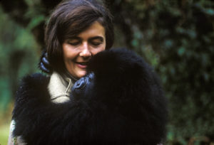 Dian Fossey holds a mountain gorilla that she nursed back to health. Photo by Robert I.M. Campbell
