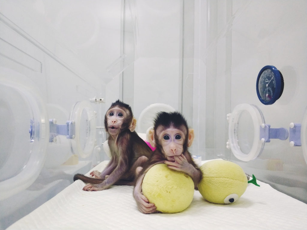 Cloned monkeys Zhong Zhong and Hua Hua are seen at the non-human primate facility at the Chinese Academy of Sciences in Shanghai, China January 20, 2018, in this handout picture provided by the Institute of Neuroscience of the Chinese Academy of Sciences. Chinese Academy of Sciences/Handout via REUTERS  ATTENTION EDITORS - THIS IMAGE WAS PROVIDED BY A THIRD PARTY. MANDATORY CREDIT. NO RESALES. NO ARCHIVES. - RC195672E270