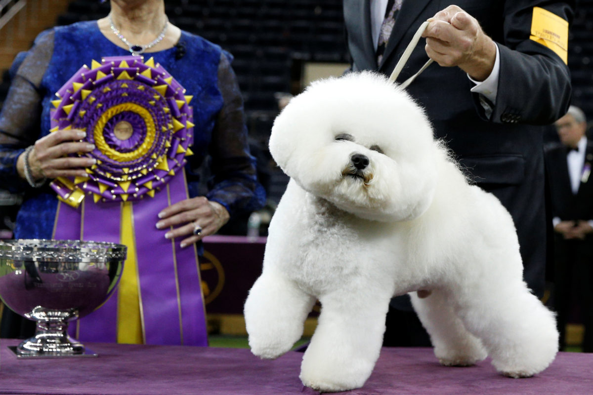 Flynn, a bichon frise and winner of Best in Show, poses at the 142nd Westminster Kennel Club Dog Show in New York on Feb. 14. Photo by Brendan McDermid/Reuters