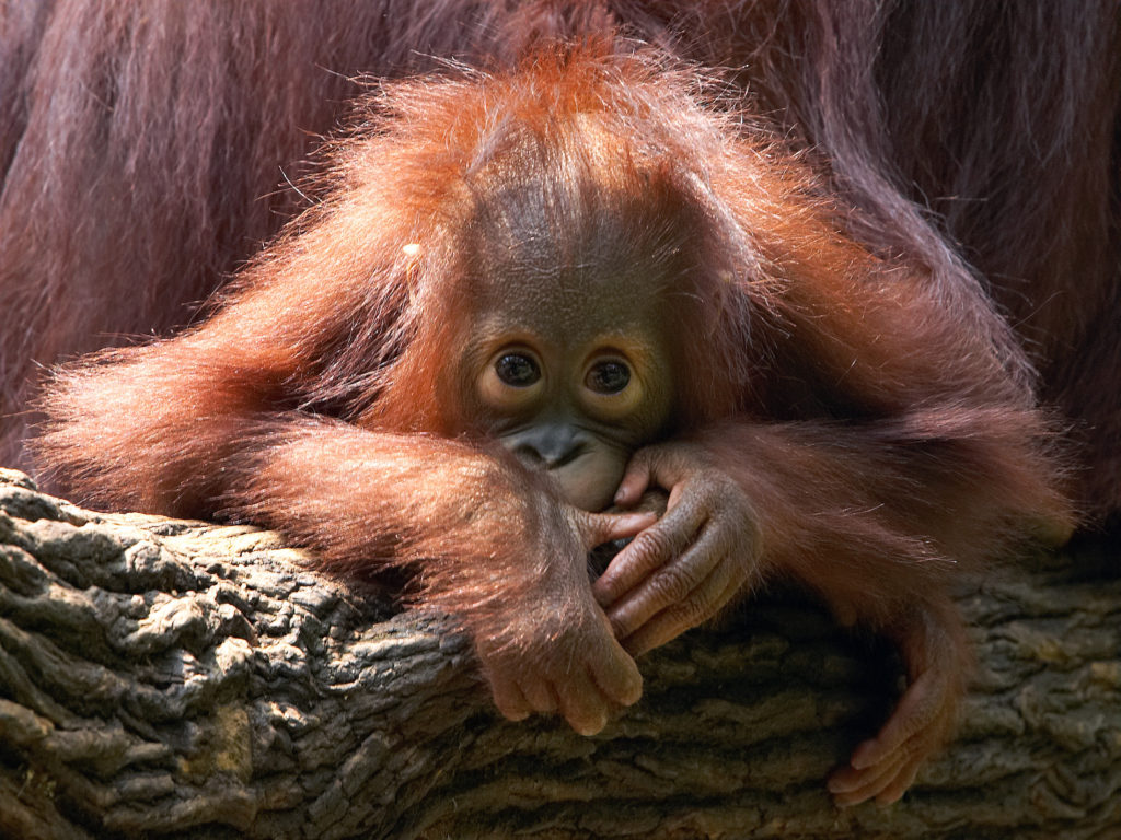 Merlin, a two-year-old Bornean orangutan (Pongo pygmaeus), looks at visitors during an afternoon token feeding session at the Singapore Zoo September 4, 2006. To date, a total of 32 orangutans have been bred successfully according to the zoo. REUTERS/Tim Chong (SINGAPORE) - GM1DTKRXWHAA