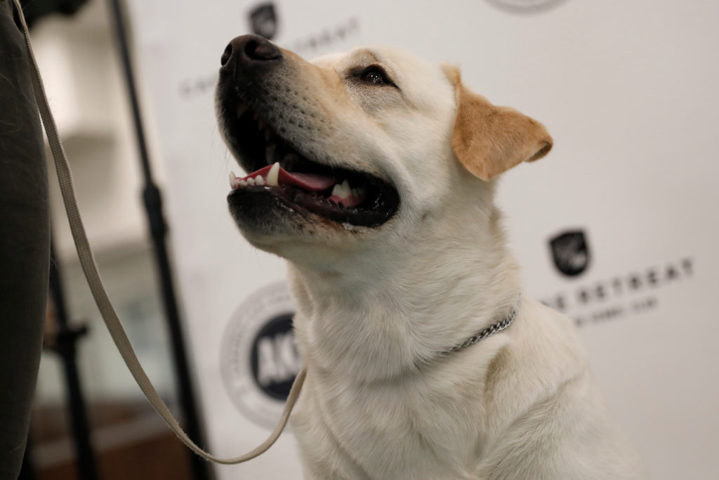 Labrador retrievers -- again -- are named America's most popular breed of dog by the American Kennel Club. Photo by Mike Segar/Reuters