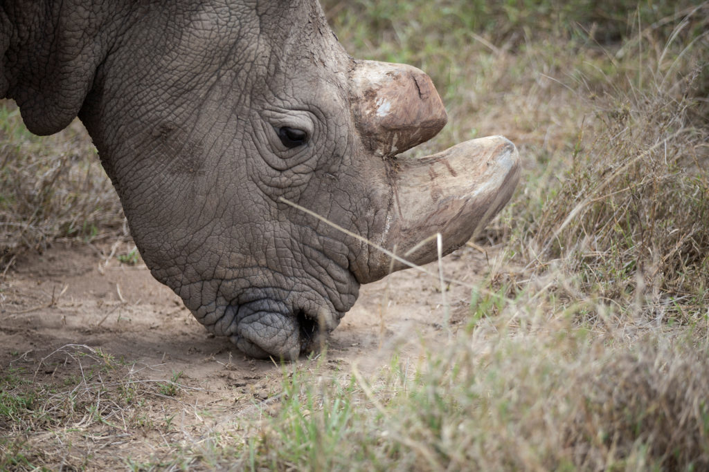 Sudan, the last surviving male northern white rhino, grazes at the Ol Pejeta Conservancy in Laikipia National Park, Kenya May 3, 2017. Photo by Baz Ratner/REUTERS