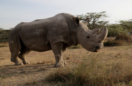 The last surviving male northern white rhino named 'Sudan' is seen at the Ol Pejeta Conservancy in Laikipia, Kenya June 18, 2017. Photo by Thomas Mukoya/REUTERS