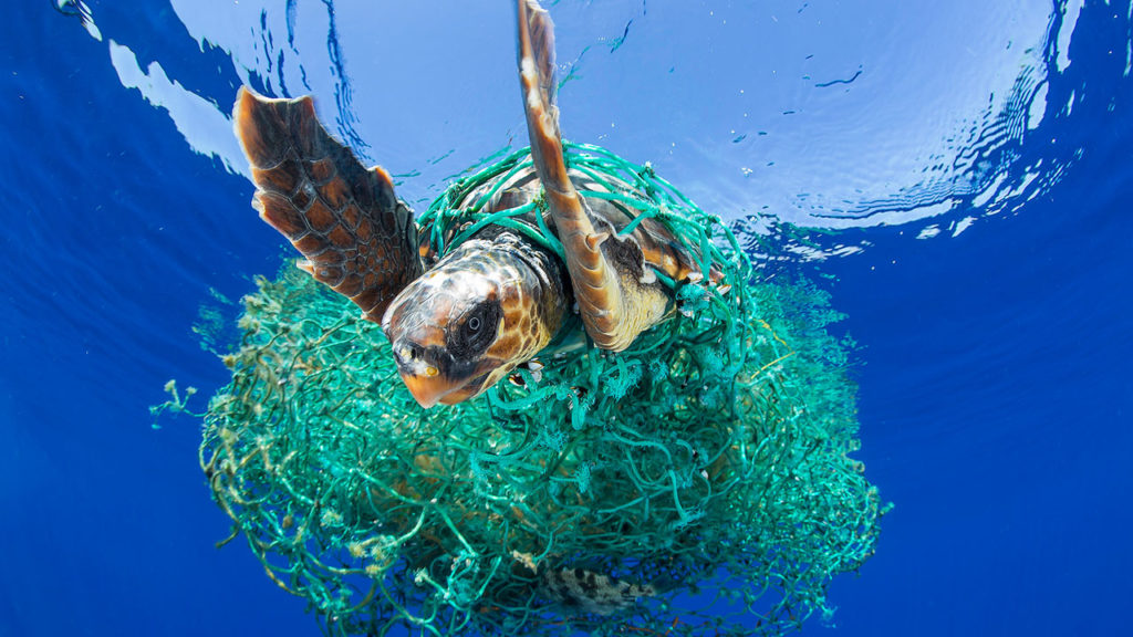 A sea turtle entangled in a ghost net. Photo by Francis Perez