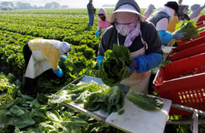 A crew harvests romaine lettuce by hand near Soledad, California. Photo by Michael Fiala/Reuters