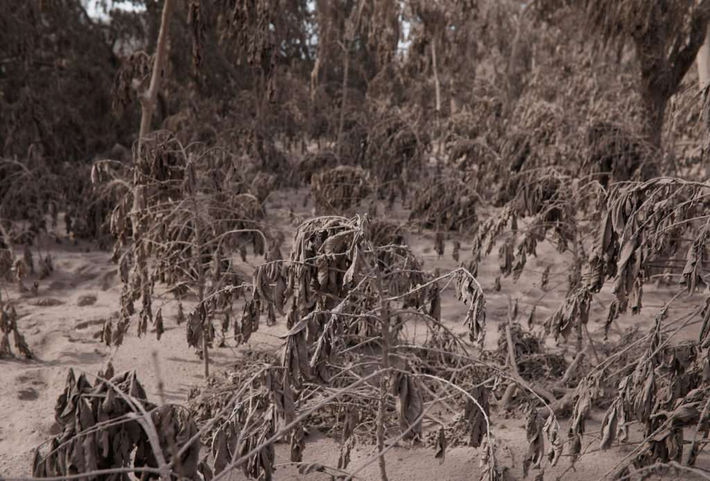 Coffee plants, covered in ash after the eruption of the Fuego volcano, are seen in El Rodeo