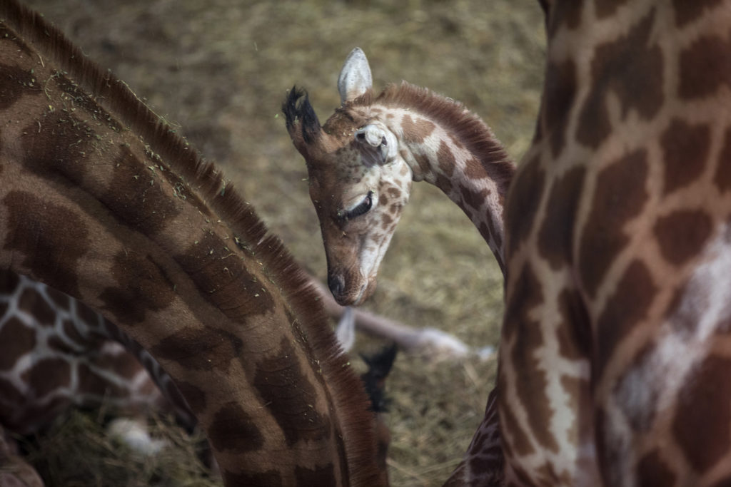 File photo of giraffes by Philippe Wojazer/Reuters