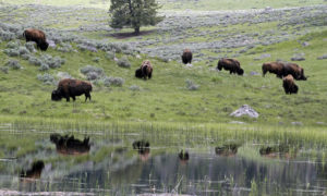 A herd of bison graze in Lamar Valley in Yellowstone National Park, Wyoming on June 20, 2011. Photo by Jim Urquhart/Reuters