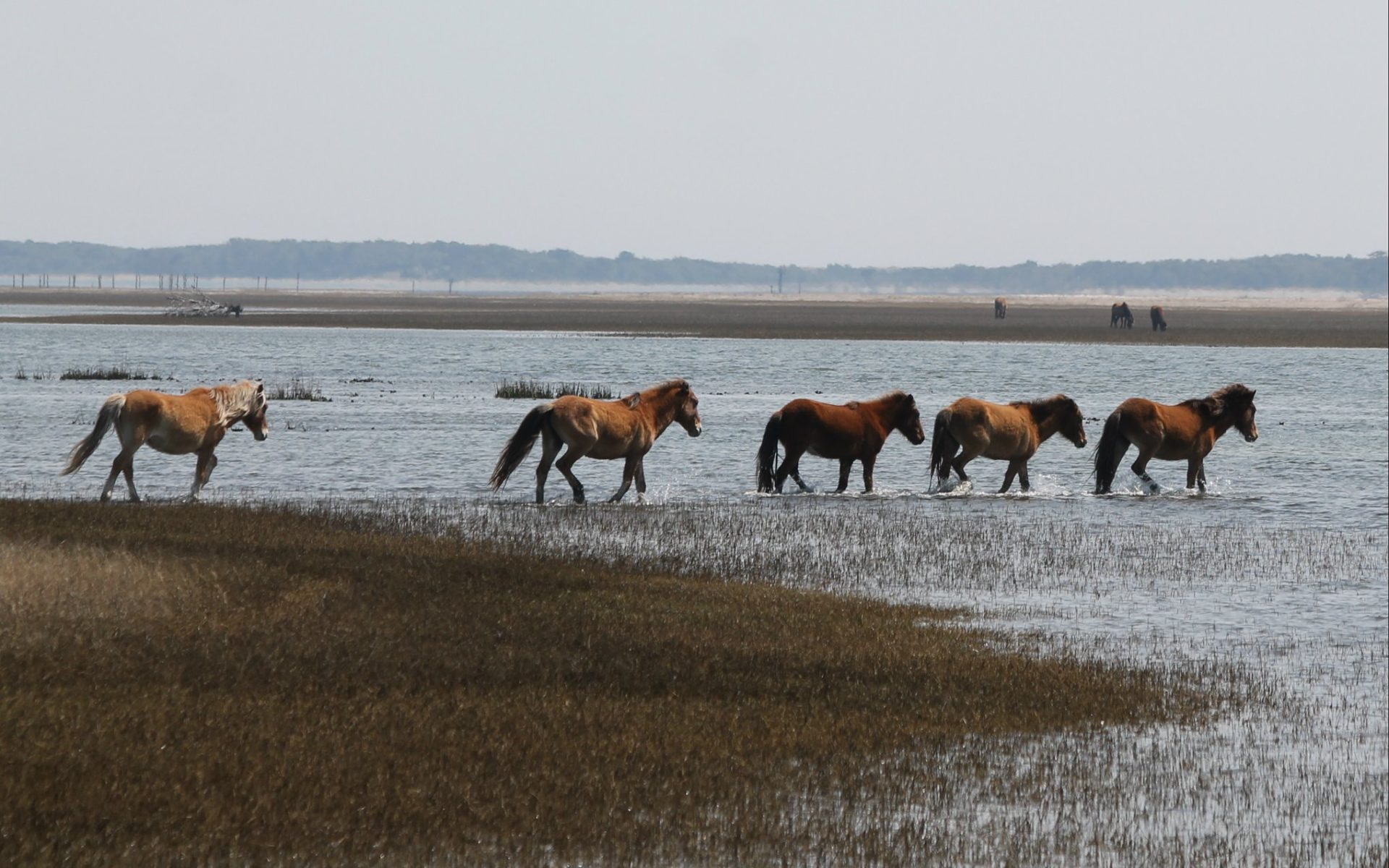 Wild horses in the Rachel Carson Reserve in Beaufort, North Carolina will fend for themselves during Hurricane Florence. Photo courtesy Paula Gillikin